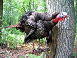 Gobbling Turkey taxidermy