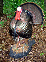 Strutting turkey mount