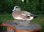 Wigeon duck taxidermy